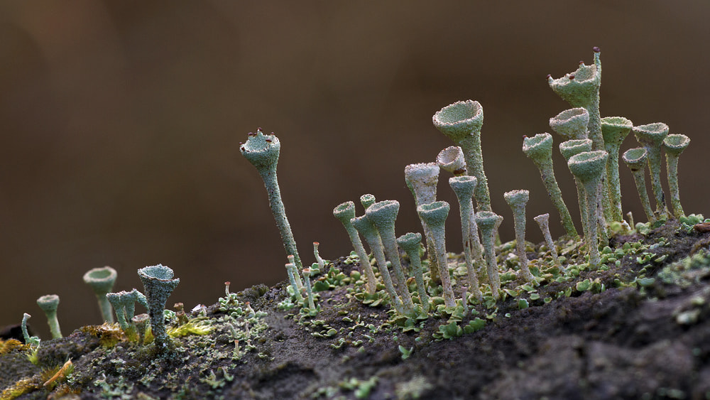 Photograph Cladonia by Jan Westerhof on 500px