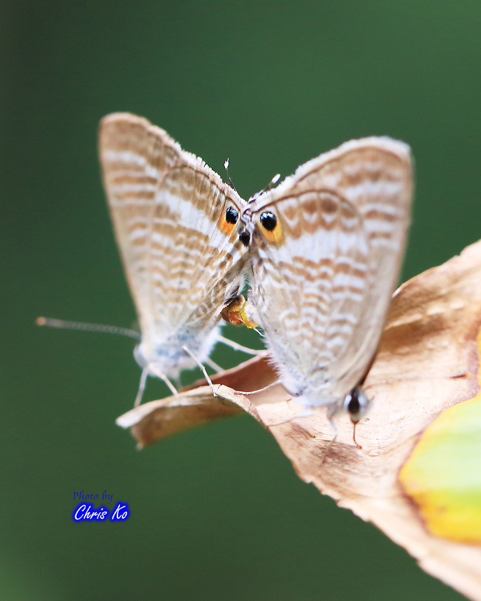 Photograph Butterfly Love by Chris Ko on 500px
