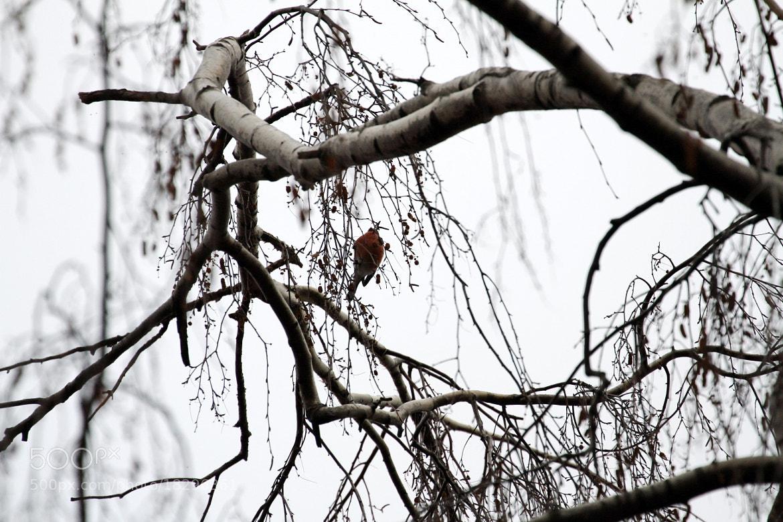 Photograph  Снегири. by Оля Март on 500px