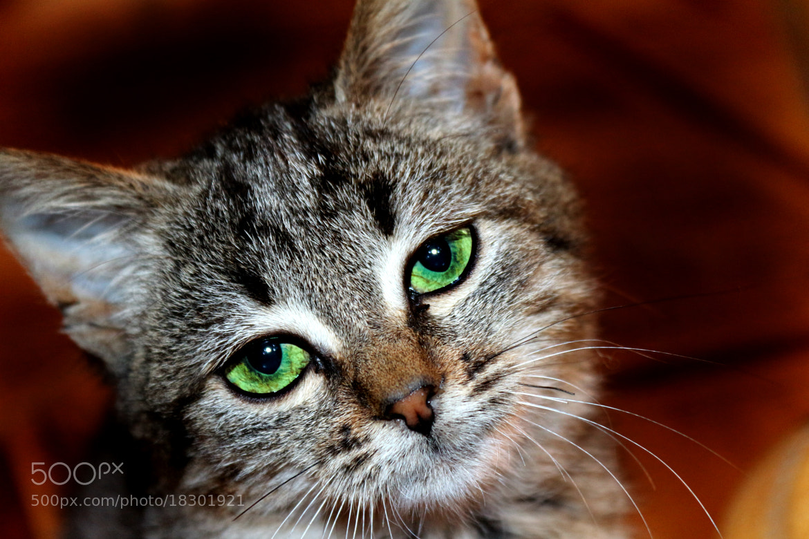 Photograph kitty☺ by lili Kogonia on 500px