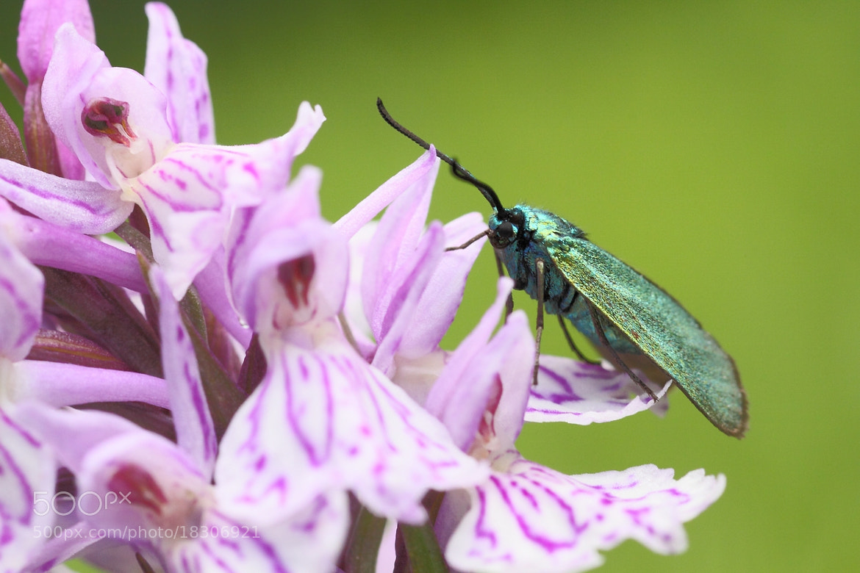 Photograph Adscita statices sur Dactylorhiza maculata by Cheype Sébastien on 500px
