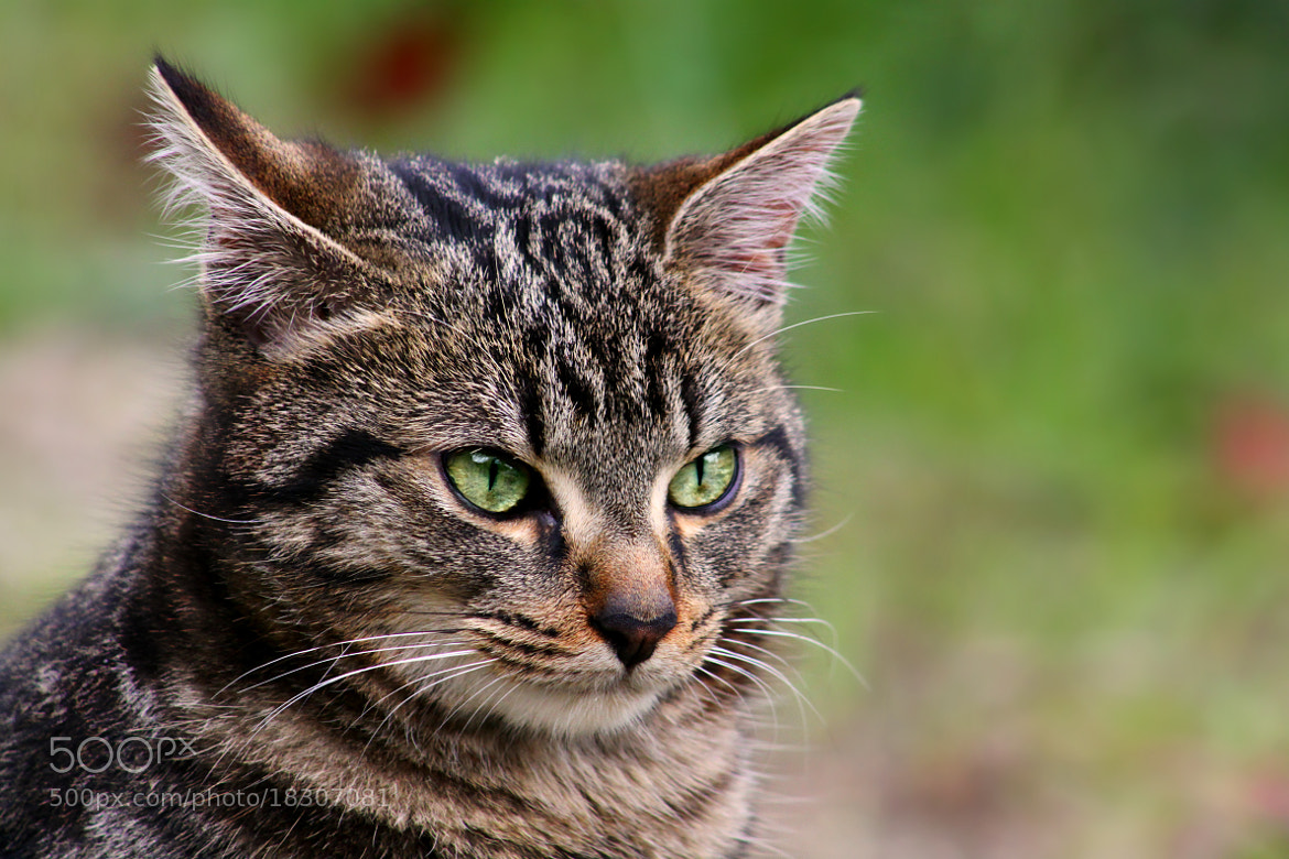 Photograph I'm Tony the cat! by Sandrine Fernandes on 500px