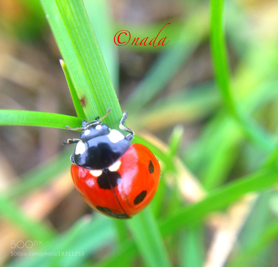 Photograph lady bug by Nada Leva on 500px