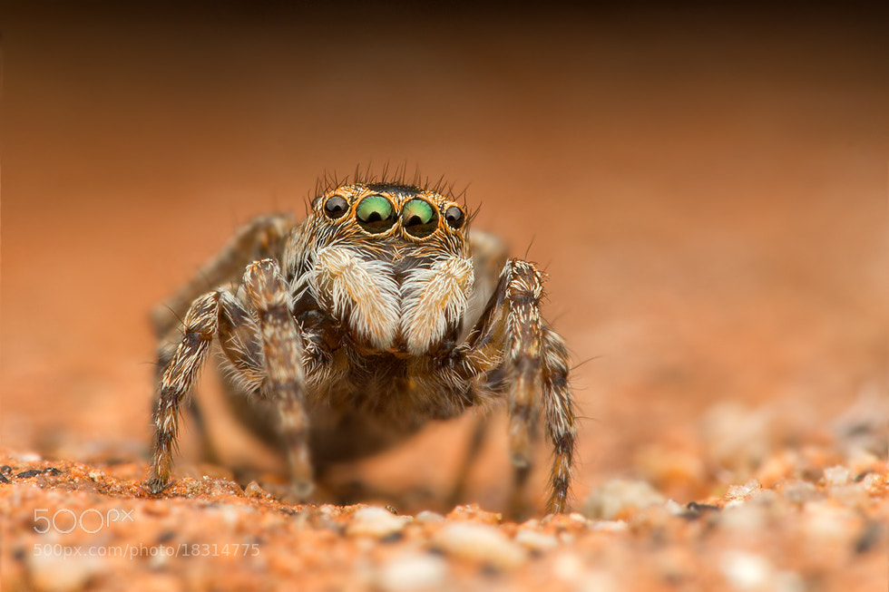 Photograph jumping spider by Juraj Komar on 500px