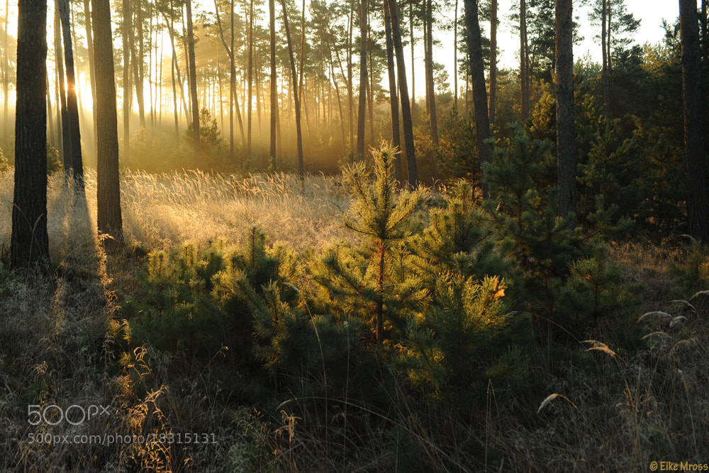 Photograph Pine Morning by Eike Mross on 500px
