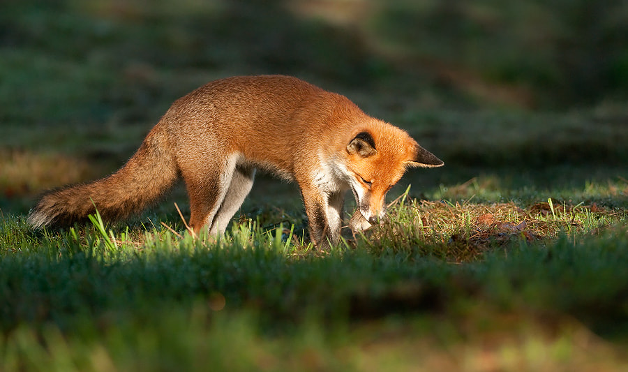 Photograph Red Fox with Vole by Oscar Dewhurst on 500px