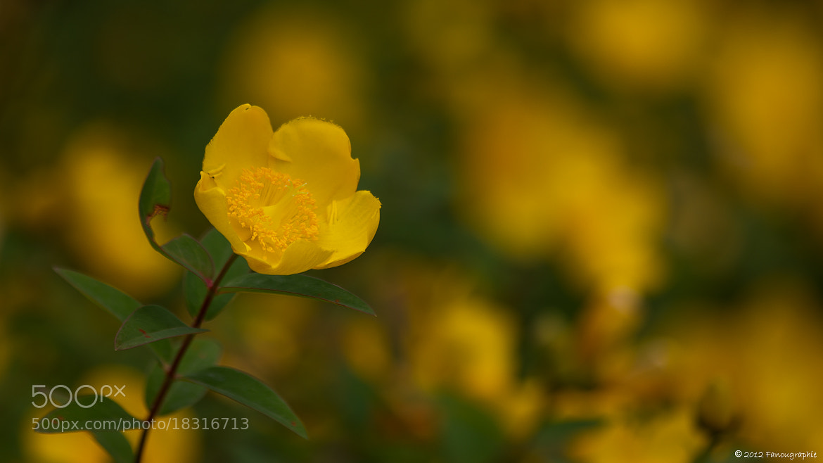 Photograph Hypericum by Fanougraphie * on 500px