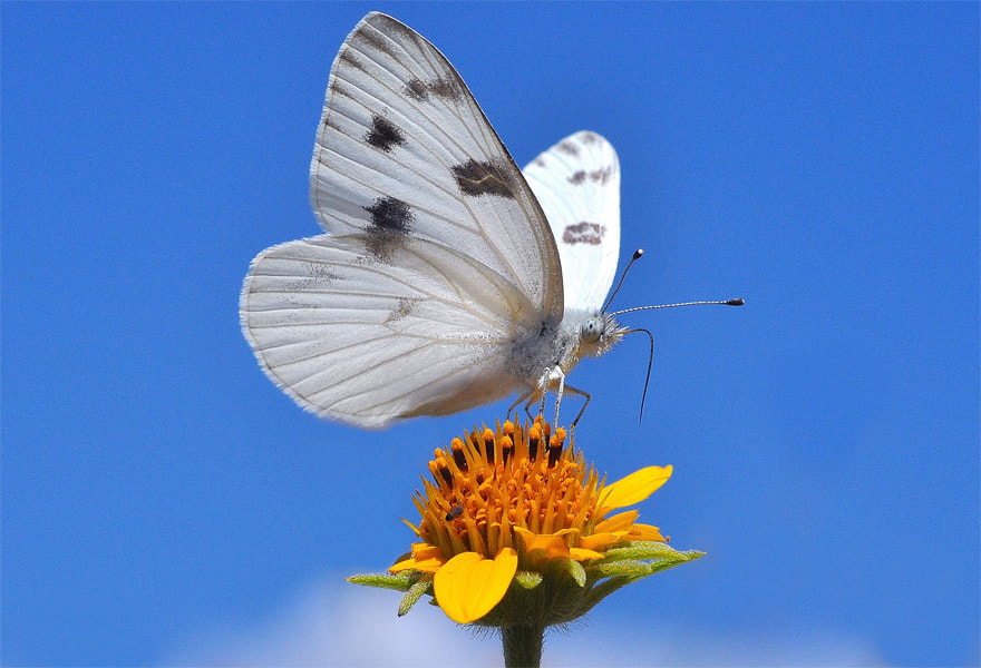 Photograph Great Southern White  by Luis Jaime Leal on 500px