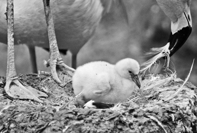 Photograph flamingo baby by Elissar Khalek on 500px