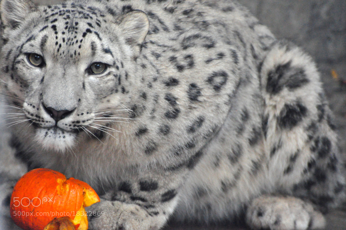 Photograph snow leopard & pumpkin by Elissar Khalek on 500px