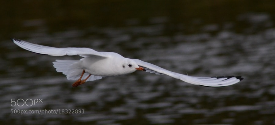 Photograph Gull in flight by Mark Bagstaff on 500px