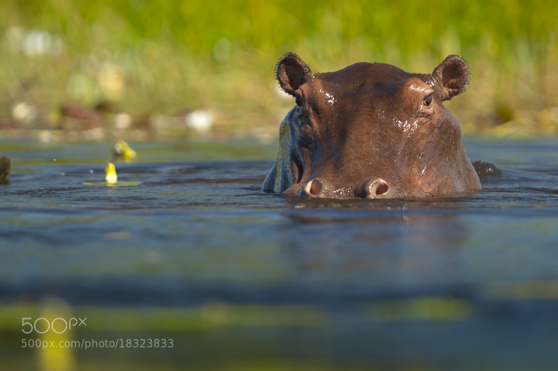 Photograph Hippo by Neil Aldridge on 500px