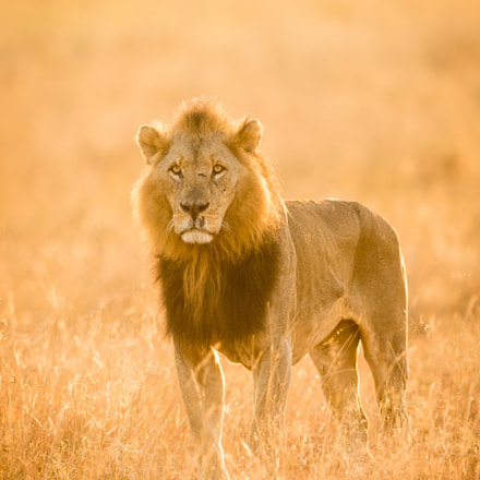Golden King, Canon EOS 7D MARK II, Canon EF 400mm f/2.8L IS II USM