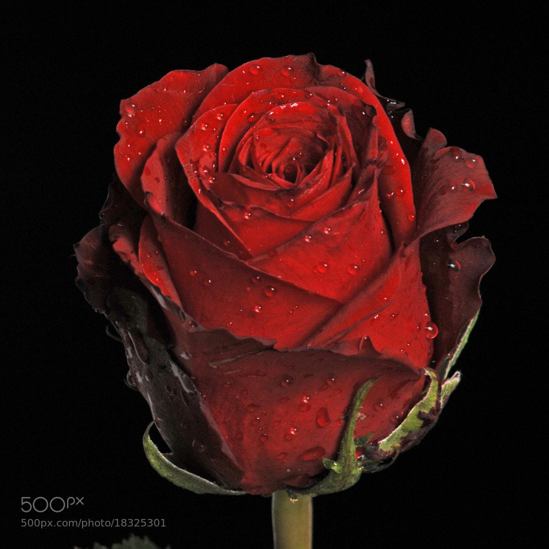 Photograph Dark red rose by Cristobal Garciaferro Rubio on 500px