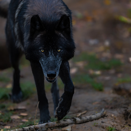 Alpha Wolf, Canon EOS-1D X MARK II, Canon EF 200mm f/2L IS
