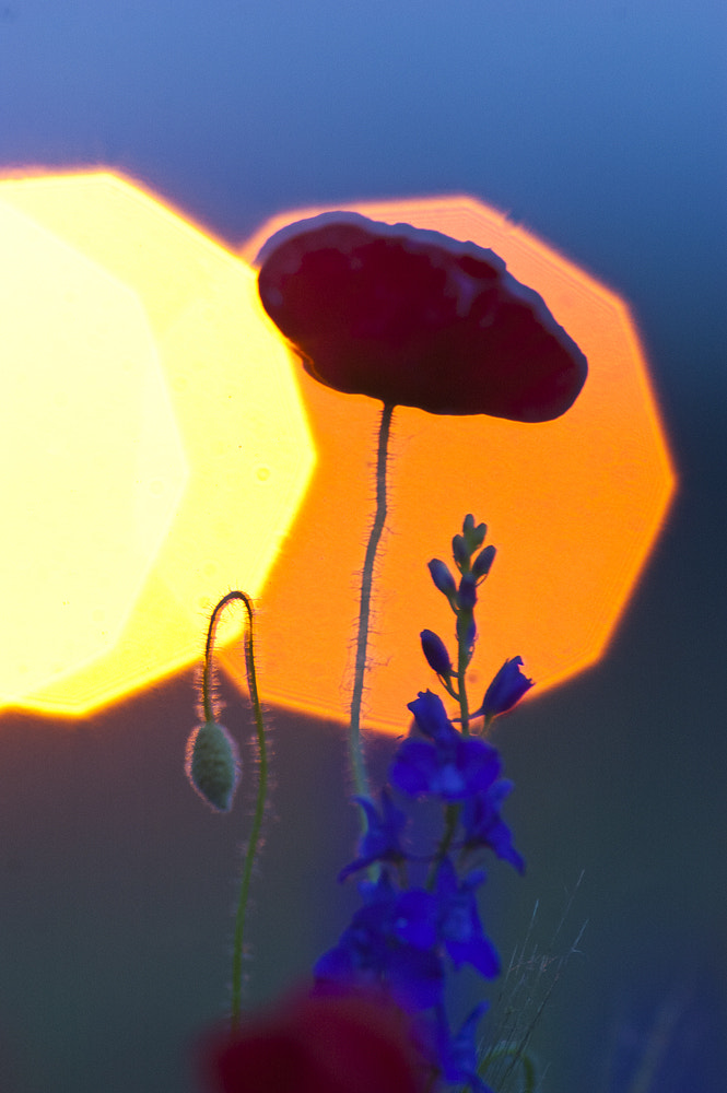 Photograph red poppy by Tibor Jakab on 500px