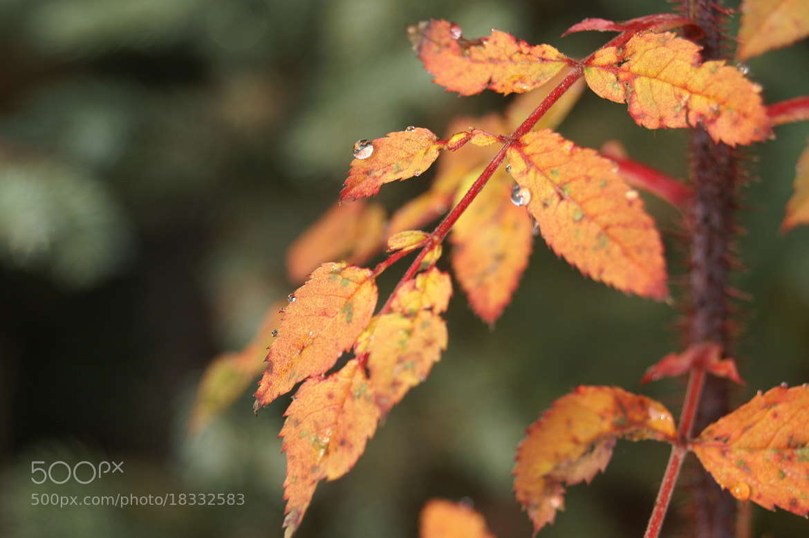 Photograph Autumn Drops by Charlene Fortner on 500px