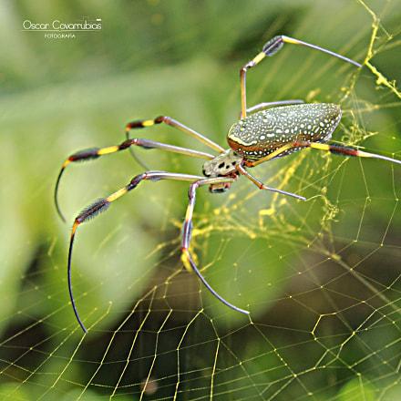 Araña seda de oro