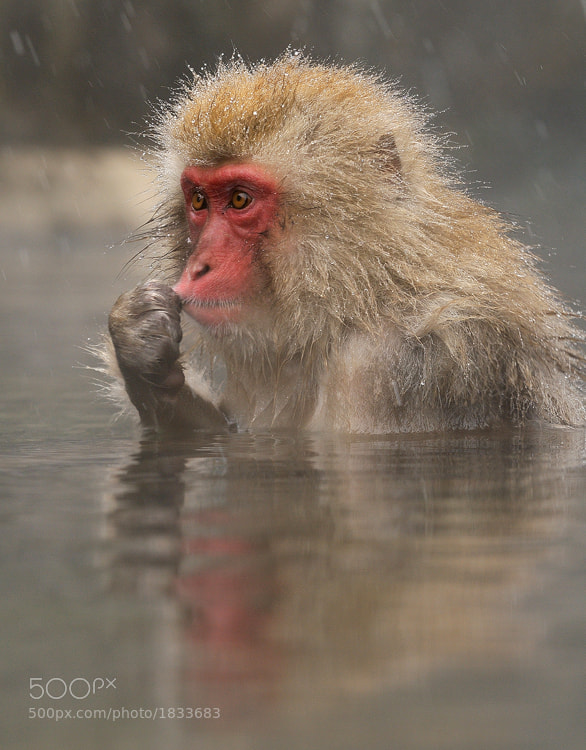 Young Japanese Macaques at Jigokudani hotspring in the mountains near Nagano, Honshu, Japan.   Best regards and have a nice weekend, Harry