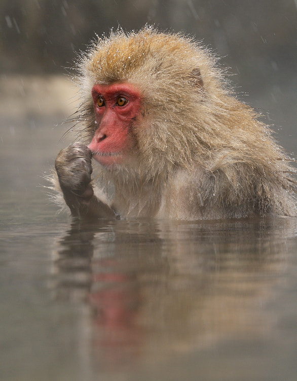 Young Japanese Macaques at Jigokudani hotspring in the mountains near Nagano, Honshu, Japan. 