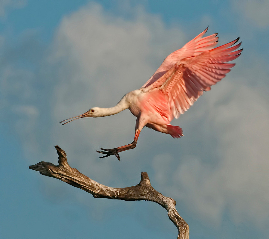 Juvenile Roseate Spoonbill mis-judging the landing approach