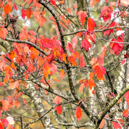 Red Leaves Autumn Abstract, Nikon D810, AF-S DX VR Zoom-Nikkor 55-200mm f/4-5.6G IF-ED
