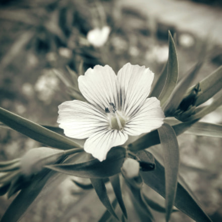 Linseed flower, Canon IXUS 500 HS