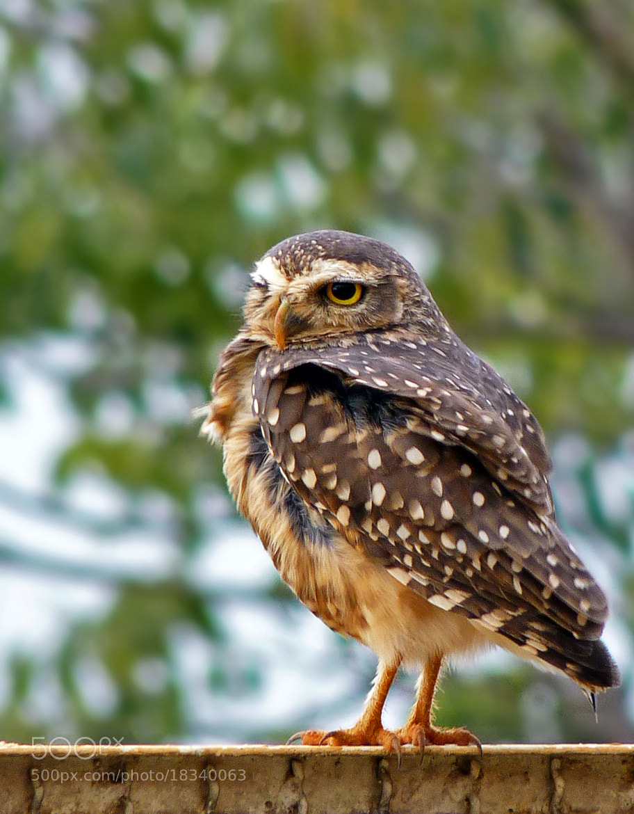 Photograph Burrowing Owl  by Pedro Henrique Evangelista on 500px