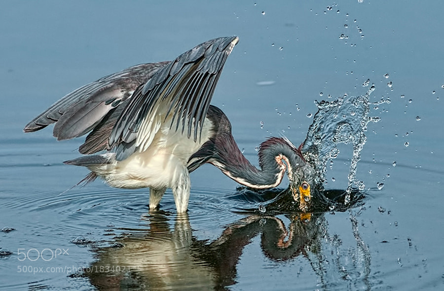 Moment of impact as Tricolored Heron strikes the water to catch a fish
