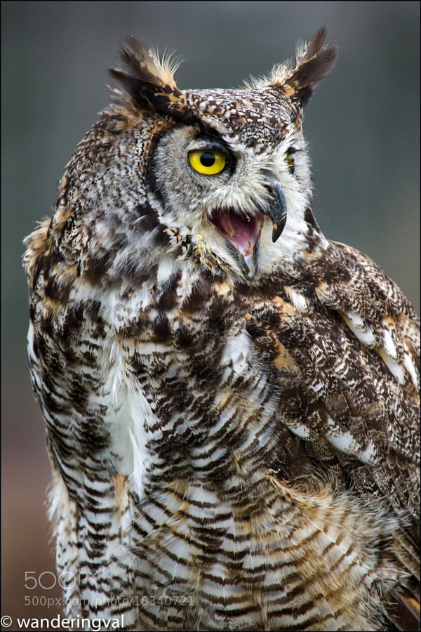 Eagle Owl / Филин by Wanderingval :-)  (wanderingval)) on 500px.com