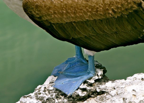 Photograph blue footed boobie feet by Samira Elghoul on 500px