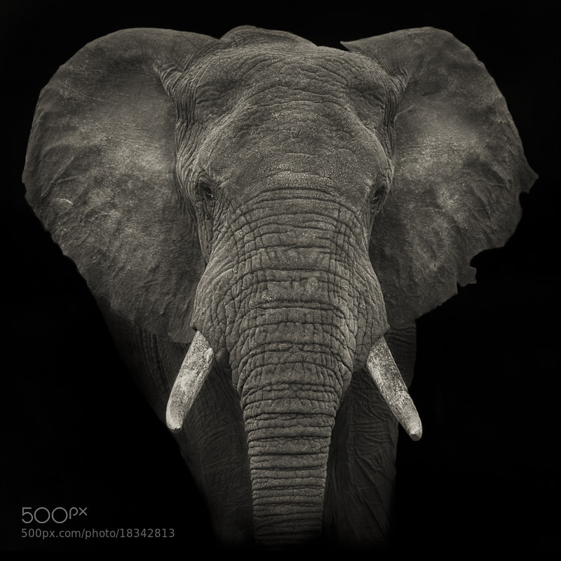Photograph Elephant Portrait by Mario Moreno on 500px