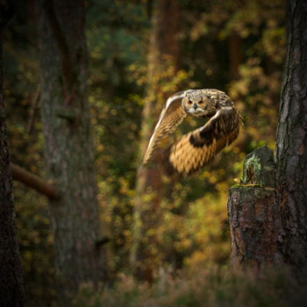 Owl sight, Canon EOS 7D MARK II, Canon EF 200-400mm f/4L IS USM