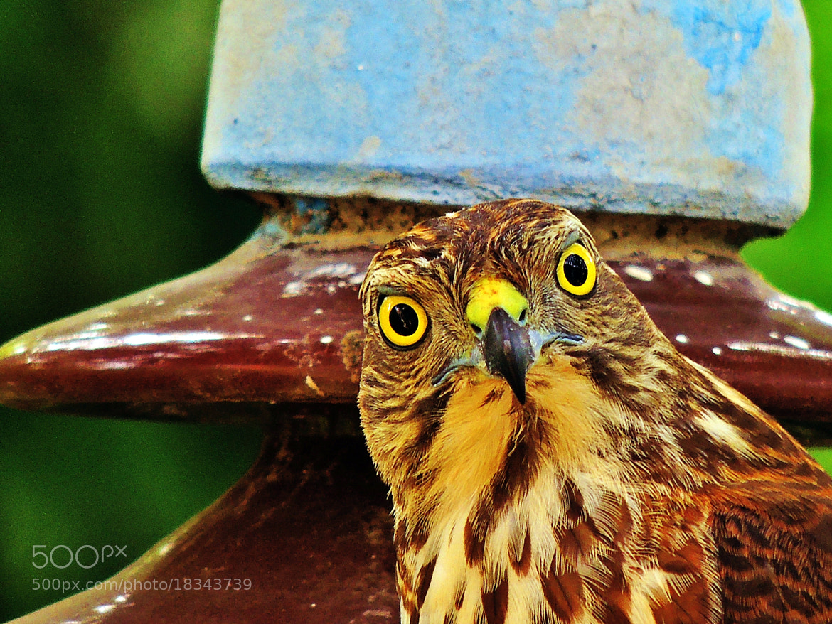 Photograph Hypnotic eye's of the Female Shikra! by Ravi S R on 500px