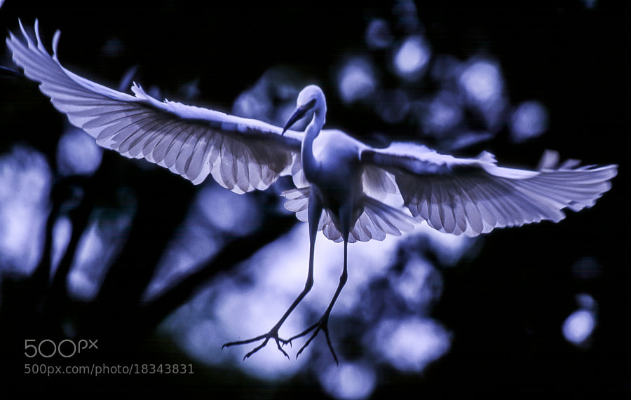 Photograph White heron by Kazuo Shinohara on 500px