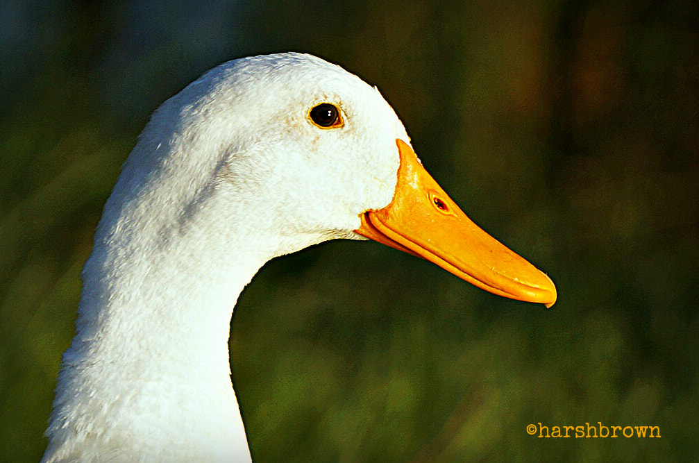 Photograph Just an Ordinary Duck by Harsh Brown on 500px