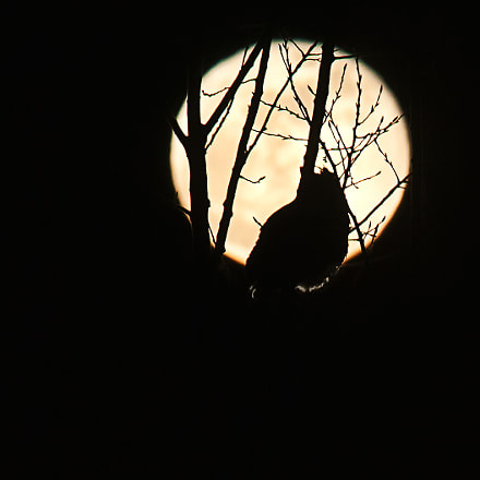 Moony Owl, Nikon D300, Sigma APO 100-300mm F4 EX IF HSM