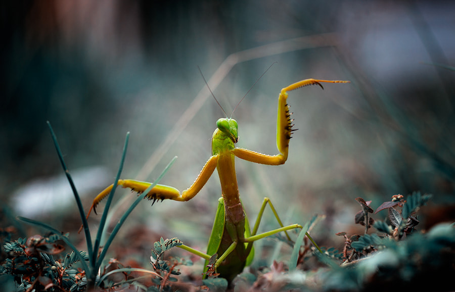 Photograph the Kungfu Mantis by Theofilus Irwan on 500px
