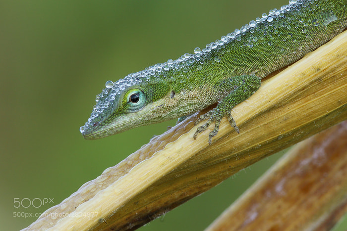 Photograph Green Anole by Jude  Haase on 500px