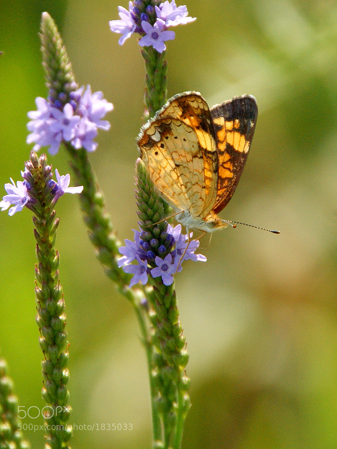 Pearl Crescent butterfly with the sun lighting the wings