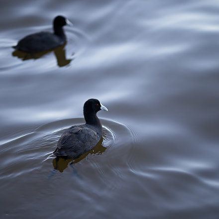 The Coot, Canon EOS-1D C, Canon EF 135mm f/2L