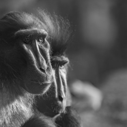Monkey, Canon EOS 7D MARK II, Canon EF 80-200mm f/2.8L