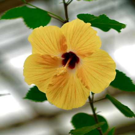 Hibiscus Flower, Sony ILCE-7RM2, Sony FE 70-200mm F4 G OSS