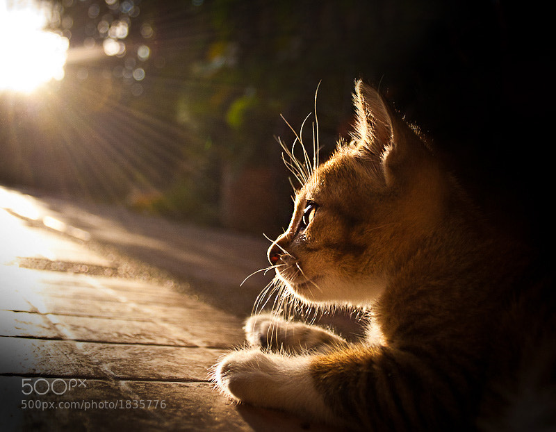 Kitten by Khatawut J (pkproject)) on 500px.com