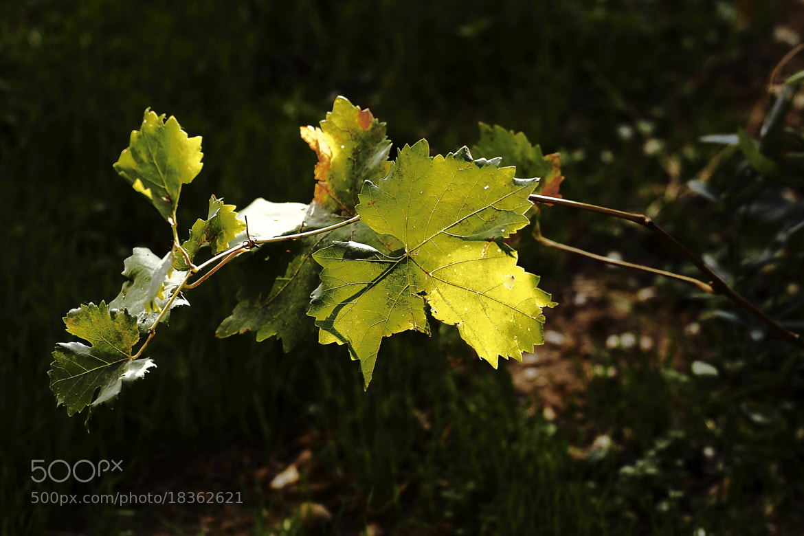 Photograph Vine Leaves. by Yannis Karantonis on 500px