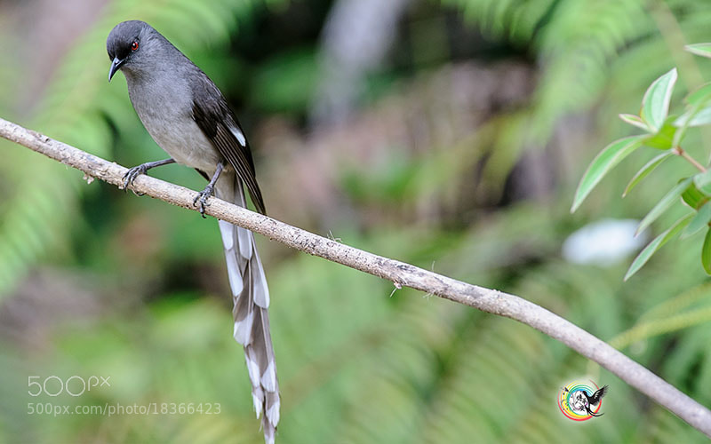 Photograph Long-tailed Sibia by Andy Fu on 500px