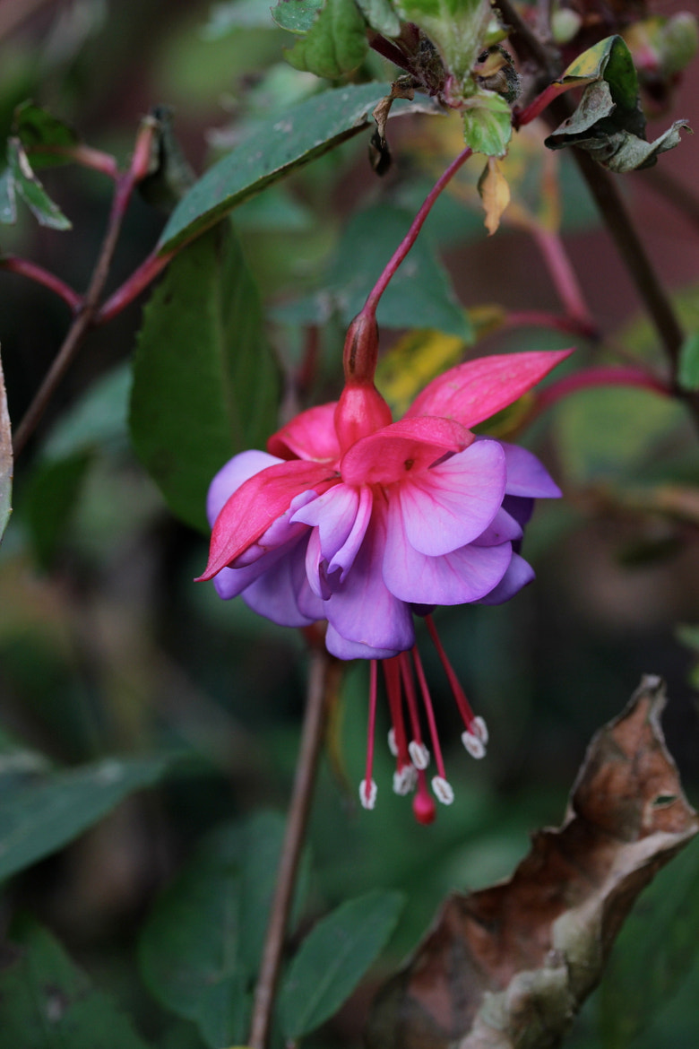 Photograph Last fuschia of the year by Jean Allenet on 500px