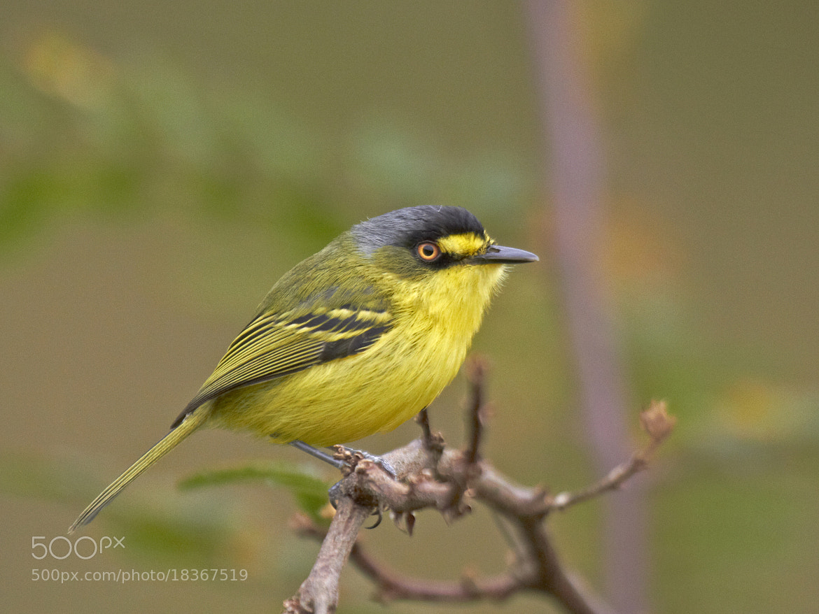 Photograph teque-teque (Todirostrum poliocephalum) Yellow-lored Tody-Flycatcher  by Claudio Lopes on 500px