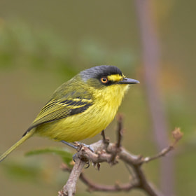 teque-teque (Todirostrum poliocephalum) Yellow-lored Tody-Flycatcher  by Claudio Lopes (claudiomarcio)) on 500px.com