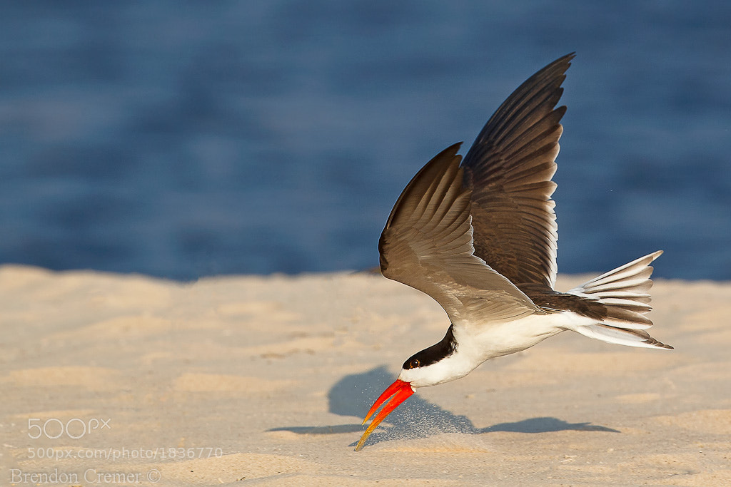 Photograph African Skimmer by Brendon Cremer on 500px